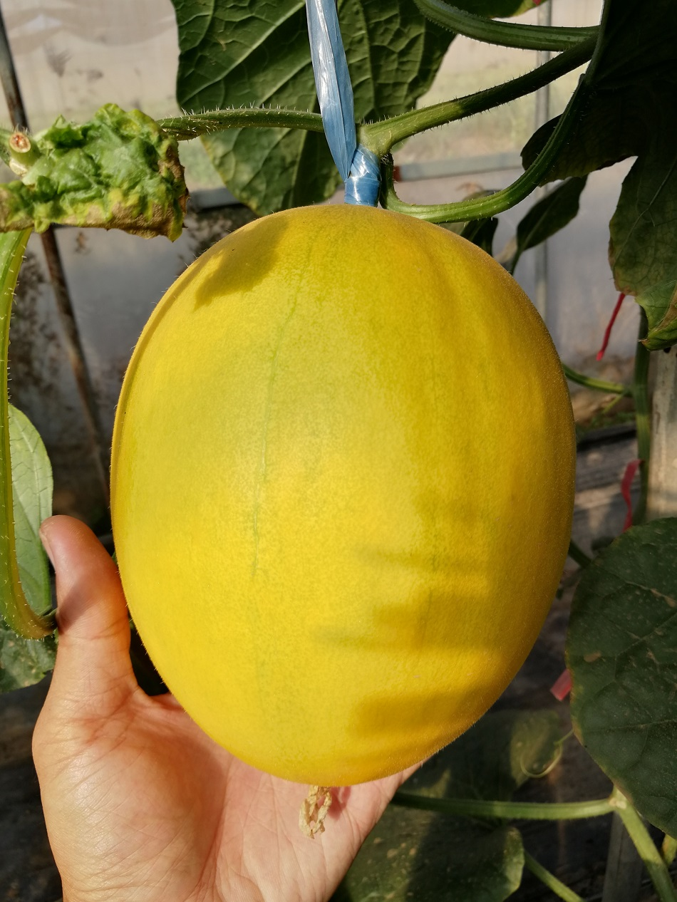 "<div style=""text-align:center;""> 	<span style=""font-size:12px;"">Yellow Cantaloup</span> </div>"